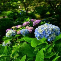 雲海の朝景と公園の紫陽花