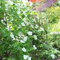 我家の庭の花 シロヤマブキ(白山吹)
