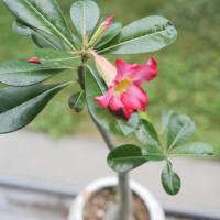 小さなアデニウムが初めて花をつけた