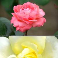 赤いバラ 黄色いバラ