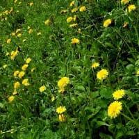 花がたくさん集まれば良いとは限りませんが、ハルジオン、ナヨクサフジ、ユウゲショウ、他