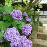 千葉・本土寺の紫陽花