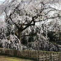 京都御苑の枝垂れ桜見頃〜です。