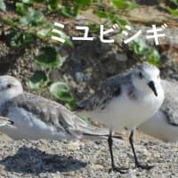 浜辺の秋—ミユビシギ再