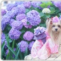 ♪紫陽花背景に浴衣姿♪