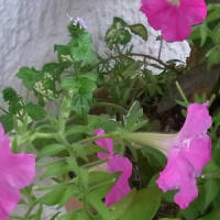 シソ科の小さな花は何?