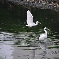 2020年1月12日(日)「池島遊水池で初心者向け水鳥観察会」