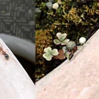 アリグモのメス