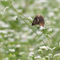 白そばの花畑でノビタキ~⑤~