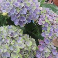 紫陽花「マジカル・アメジスト」 2