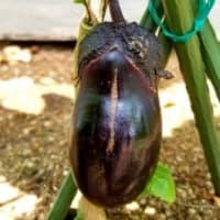 家庭菜園から野菜の収穫がボチボチとはじまりました