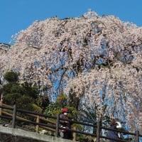 💖満開の枝垂れ桜💖