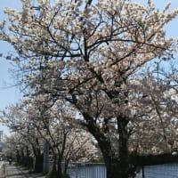 第二十六~二十八段~桜と菜花で一句~