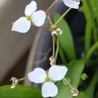 越冬の水生植物「うりかわ」開花。