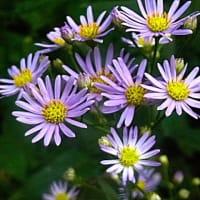 コシオガマの花が