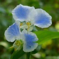 白から青まで花色いろいろ露草