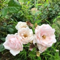 家庭菜園・園芸2019(2) ボタン、バラ、紫陽花など
