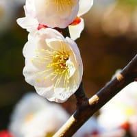梅の花事情