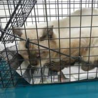 飼い主の居ない猫・避妊・去勢手術しました