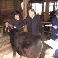 大崎市岩出山産の種雄牛候補「稚洋」産子の巡回調査