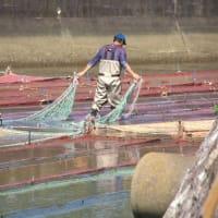 海苔網引き