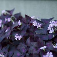 ●我が家の7月の花(7) コスモス一番花 アメジストセージ オキザリス・トリアングラリス