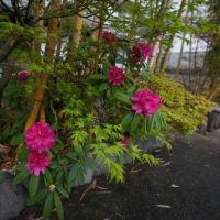 野坂屋旅館の玄関が春爛漫