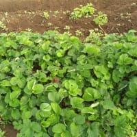 定植間近かのいちご苗
