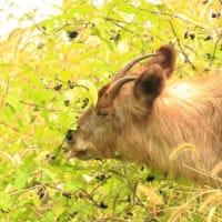 山裾の湿地で餌を食むニホンカモシカ