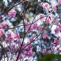 ❤早くもアケボノツツジ開花・コガネネコノメソウ❤