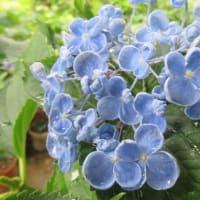 紫陽花「ポップコーン」 2