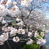 晴天の『境川~真間川の桜並木 2020』を散策してきました。