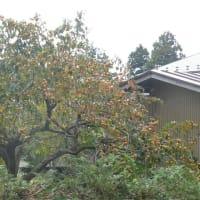胆沢郡金ケ崎町のカキ(柿)の実 2019年10月6日(日)