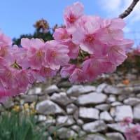 蒲刈の河津桜