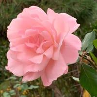 2020.11.23(月)    薔薇 新型コロナ