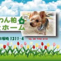 老犬ペットホテルわんわん柏 16歳💓 朝の健康チェック(わんわん柏)