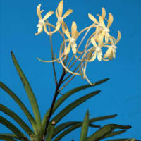 富貴蘭「紅乙女?と言う名の黄花」の花