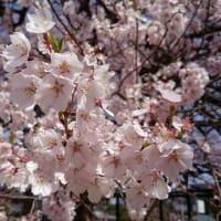 【歳時メモ】 桜満開 【追記あり】