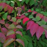 紅葉の始まり Autumn leaves