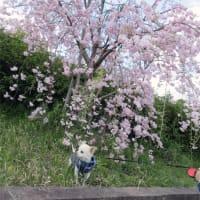 シヤネルと散歩(五条中央公園)