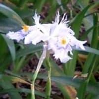 著莪(しゃが)の花