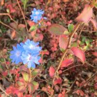 ブータンルリマツリの花は