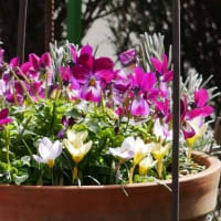 ヘレボルスの開花