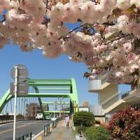 ウォーキングの途中で出会った八重桜