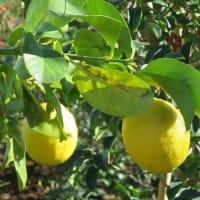 レモン 柑橘類
