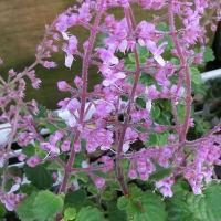 ピンククリッカーの花は