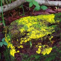 ツチアケビの花とレモン色の粘菌