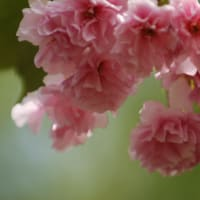 大阪造幣局、桜の通り抜け