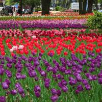 「チューリップ祭り」/横浜公園(2019春)