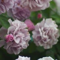 やっぱり特別な花って気がするな。